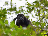 A Howler monkey — Stock Photo