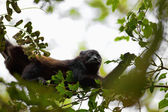 A Howler monkey — Stock Photo