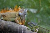 Iguana verde gioco di accoppiamento — Foto Stock