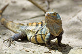 Black spiny-tailed Iguana — Stock Photo