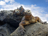 Galapagos marine Iguanas — Stock Photo