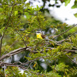Yellow flycatcher bird — Stock Photo