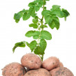 Foto de Stock  : Fresh potatoes