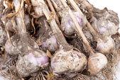 Natural fresh garlic — Stock Photo