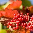 Bright red viburnum — Stock Photo #7524877