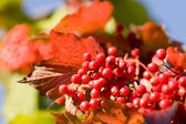 Bright red viburnum — Stock Photo