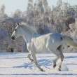 White horse in snow — Stock Photo