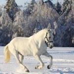 White horse in winter — Stock Photo