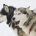Huskies — Stock Photo #6843451