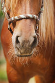 Horse nose — Stock Photo