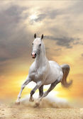 White horse in sunset — Stock Photo