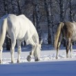 Foto Stock: Horses in snowy forest