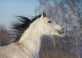 Arab horse closeup — Stock Photo