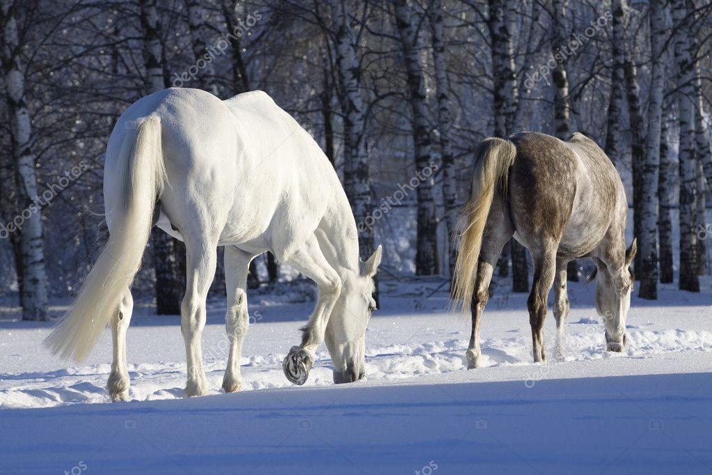 Wild white horses in snow