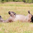 Stock Photo: Horse rolling on ground