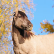 Stock Photo: Grullo horse