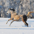 Free arab horse in winter — Stock Photo