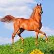 Arab horse runs free — Stock Photo