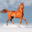 Stock Photo: Arab horse in snow