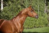 Arab häst sommaren porträtt — Stockfoto