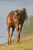 Horse in a river — Foto de Stock