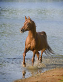 Horse in a river — Stock Photo