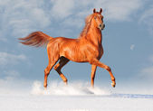 Arab horse in snow — Stock Photo
