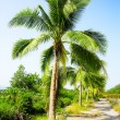 Coconut palms - Stock Photo