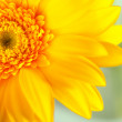 Yellow gerbera closeup — Stock Photo