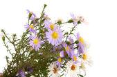 Small chrysanthemum flowers — Stock Photo