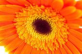 Orange gerbera — Stock Photo