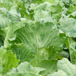 Cabbage growing — Stock Photo