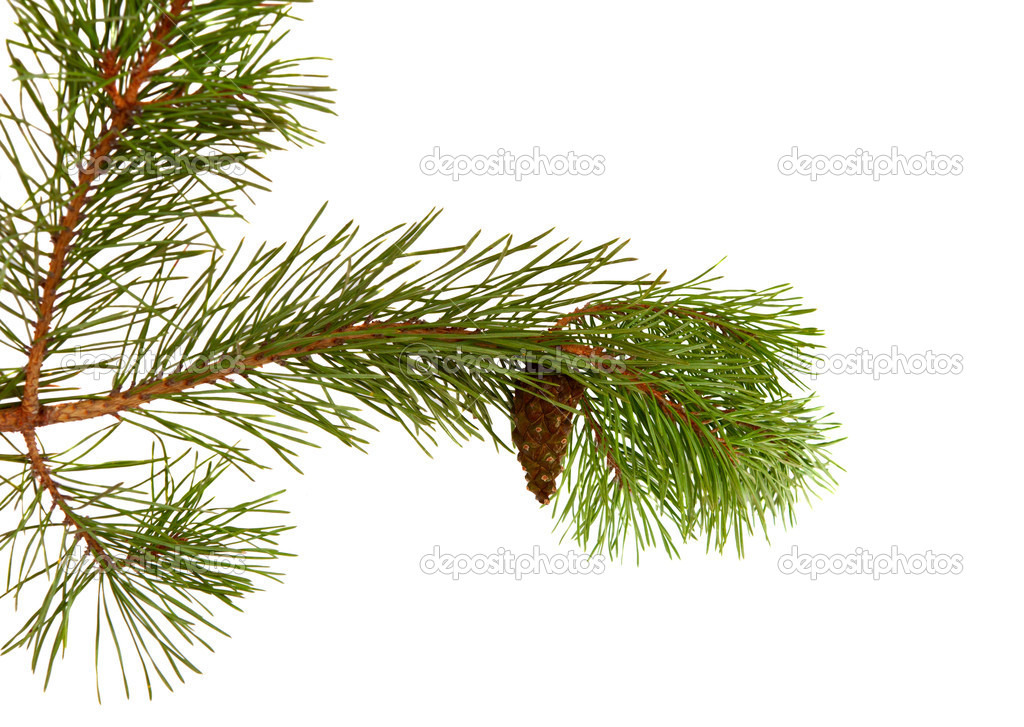 Pine branch with cones on a white background — Stock Photo #7298176