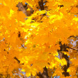 Foto Stock: Yellow autumn leaves