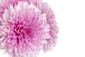Purple chrysanthemum — Stock Photo