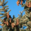 Fir with cone — Stock Photo #7467012
