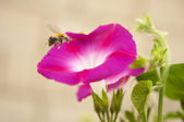 Bindweed flower — Stock Photo