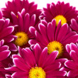 Chrysanthemum — Stockfoto