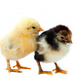 Two chicken - Stockfoto