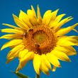 Sunflower with bees - Stock Photo