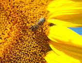 Sunflower with bees — Stock Photo