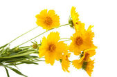 Yellow meadow flowers — Stockfoto