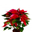Stock Photo: Christmas flower