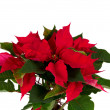 Christmas flower — Foto de Stock