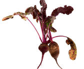 Beet with leaves — Stock Photo