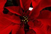 Christmas poinsettia plant — Stock Photo