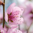 Pink flowers on a tree — Stock Photo #7848960