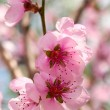 Pink flowers on a tree — Stock Photo #7849584