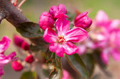 Pink flowers on a tree — Stock Photo