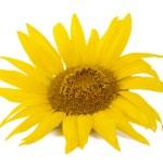 Sunflowers — Stock Photo #7850588